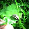 Szentjánosbogár