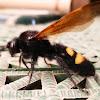 Scoliid wasp (♂)