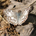 Tropical Checkered-Skipper - male
