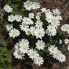 Anemone (white)