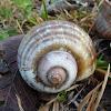 Golden Apple Snail/Channeled Apple Snail
