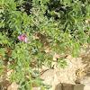 Sinai fagonbush
