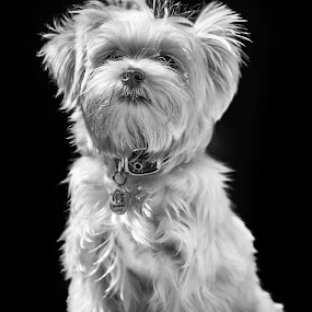 That look by Felipe Mairowski - Animals - Dogs Portraits ( cão, fluffy, black and white, cane, white, bw, white dog, cachorro, fluffy dog, perro, portrait )