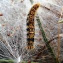 Lagarta do pinheiro,  lagarta  processionária