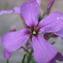 Purple Cress