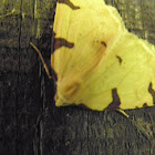 triangle wing moth