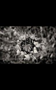 Dead Sunflower Live Wallpaper Screenshot Thumbnail