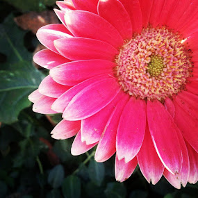 a lovely gerber daisy by Mackenzie Rosenlieb - Instagram & Mobile iPhone (  )