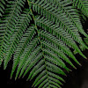 Soft Tree Fern