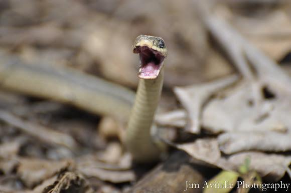 Why dogs growl and light flickers   Scienceline   Garter Snake Teeth