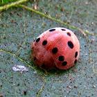 Nightshade ladybird