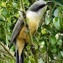 Mangrove Cuckoo - Pajaro Bobo Menor