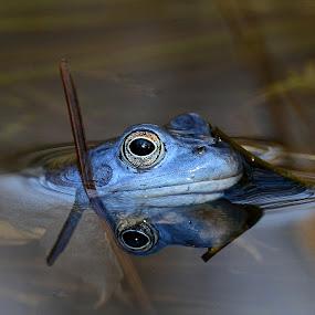 Rana arvalis by Gregor Dinghauser- Dingo - Animals Amphibians