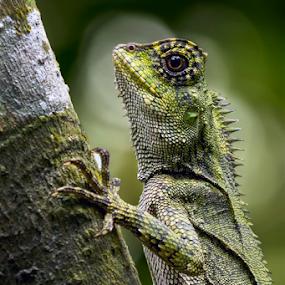 I'm Bunglon by Rusman Budi Prasetyo - Animals Reptiles ( reptiles, wild, nature,  )