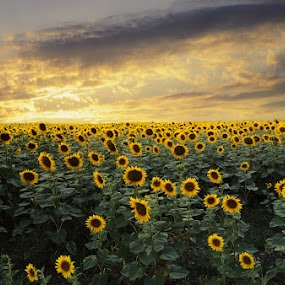 Sunfliwer field by Dragana Trajkovic - Landscapes Prairies, Meadows & Fields ( plant, petals, flowers, Hope,  )