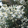 Musk daisy bush