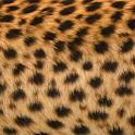 LiveWallpaper Leopard LiveRoid logo
