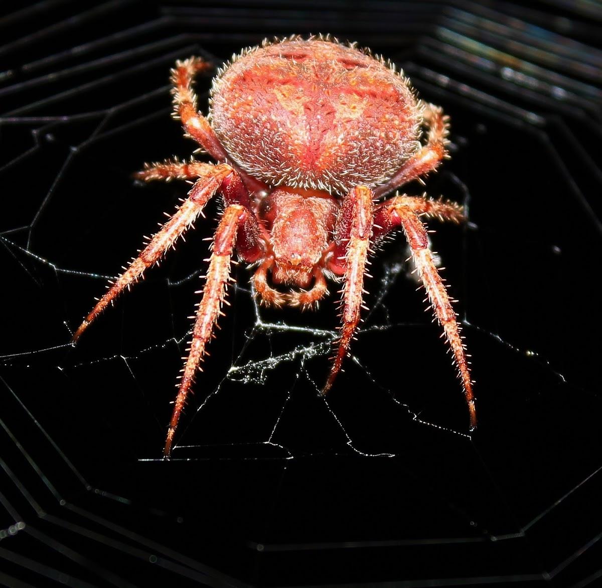 Spiky Hairy Field Spider