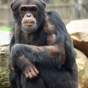 Chimpanzee by Peter Janssen - Animals Other Mammals ( chimpanzee, animal, monkey )