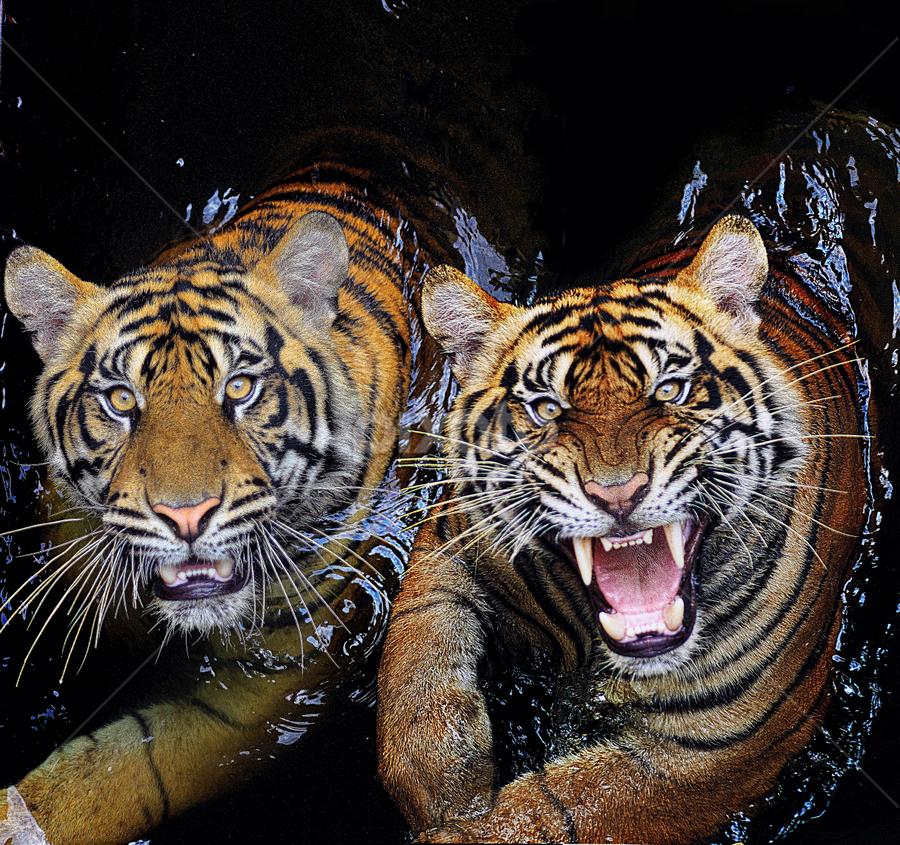 Scramble Eat... by Ubayoedin As Syam - Animals Lions, Tigers & Big Cats