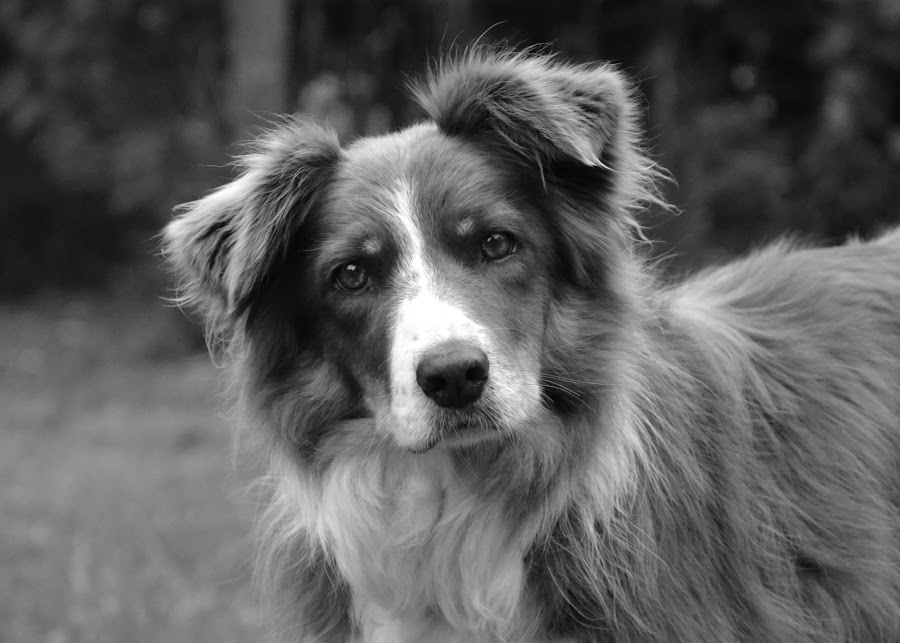by Nadine Harkness - Animals - Dogs Portraits ( , black and white, animal )