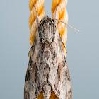 Convolvulus Hawk-moth (male)