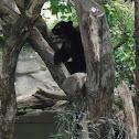 Andean Bear/Spectacled Bear