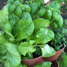 Mixed basil and leaf lettuce