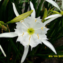 Rocky Shoal Spider Lily