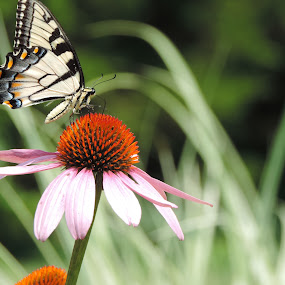 by Michelle Cutt - Flowers Flowers in the Wild ( butterfly, coneflower, flowers,  )