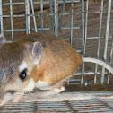 Dulzura Kangaroo Rat