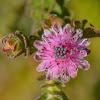 Silkypuff Protea