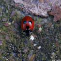 Five-spot Ladybird