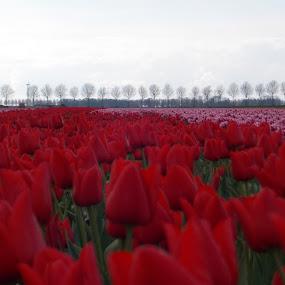 field of tulips by Monica Dragomir - Flowers Flowers in the Wild (  )