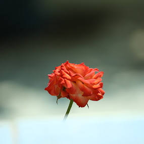 red <3 by Shamsad Mhd - Flowers Single Flower ( love, rose, red, reddish, small, garden )