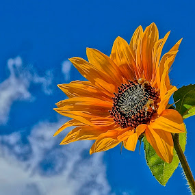 Sun in the Face by Barbara Brock - Flowers Single Flower ( cloudy sky, sunflower in the wild, blue sky, sunflower, one sunflower,  )