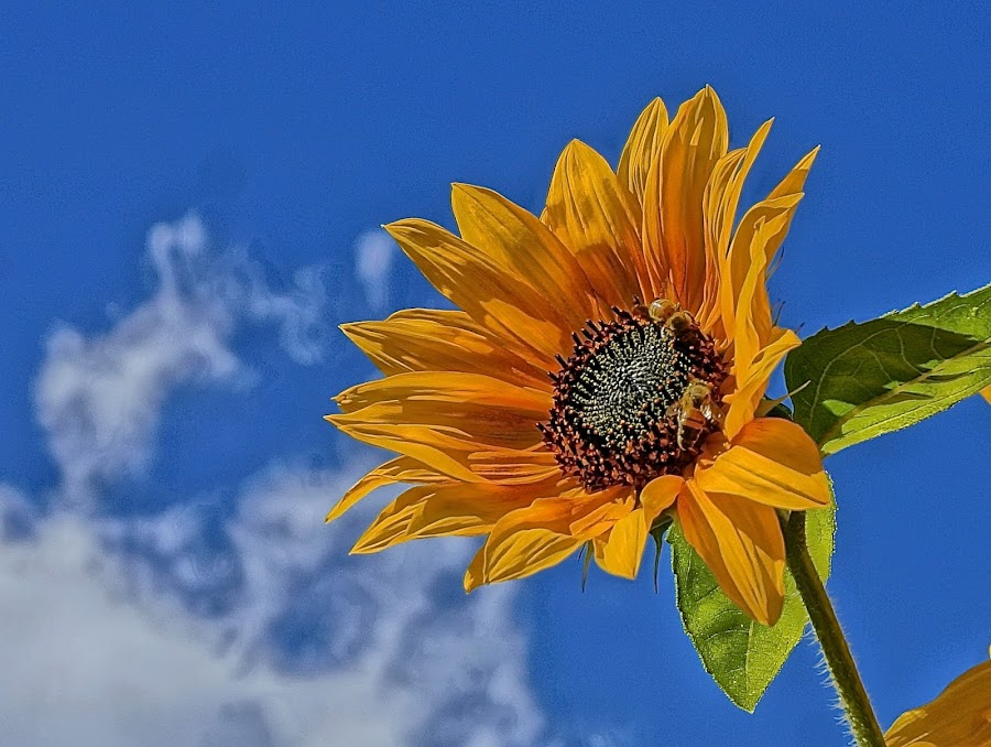 Sun in the Face by Barbara Brock - Flowers Single Flower ( cloudy sky, sunflower in the wild, blue sky, sunflower, one sunflower,  )