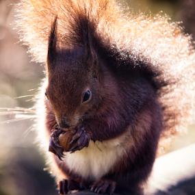 Red Squirrel by Leigh Brooksbank - Animals Other Mammals ( native wildlife, essex & suffolk photographers, red squirrel, wildlife, british wildlife center, captive animals, squirrel )