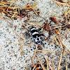 Banded Alder Borer Beetle