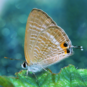 Pea Blue Butterfly by Ardika Septyawan - Animals Insects & Spiders ( butterfly, macro, nature, wildlife, blue common )