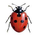 iRecord Ladybirds