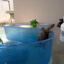 SE Asia Box Turtle