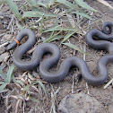 Prairie ring-necked snake