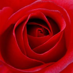 Valentine's Rose for u all... by Gautam Tarafder - Flowers Single Flower (  )