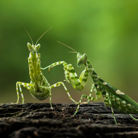 - DUO - by Robert  Fly - Animals Insects & Spiders ( mantodea, mantis, praying mantis,  )