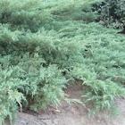 Ciprés de Leyland (Cupressus leylandii)