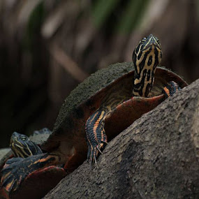by Jeri Curley - Animals Reptiles (  )