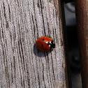 Seven-spot ladybird, seven-spotted ladybug / Siebenpunkt-Marienkäfer