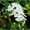 White Skyflower