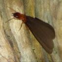 Damp wood termite